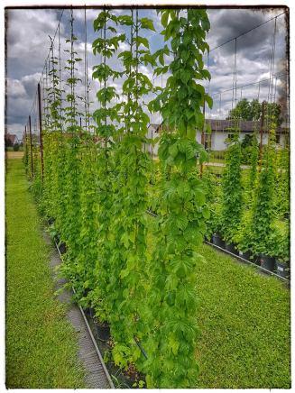 mutterpflanzen 2